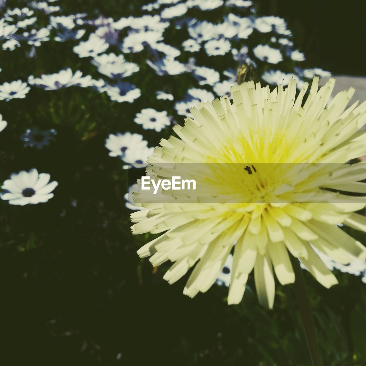 flower, fragility, beauty in nature, yellow, petal, nature, freshness, flower head, growth, plant, close-up, no people, one animal, outdoors, day, animal themes, blooming