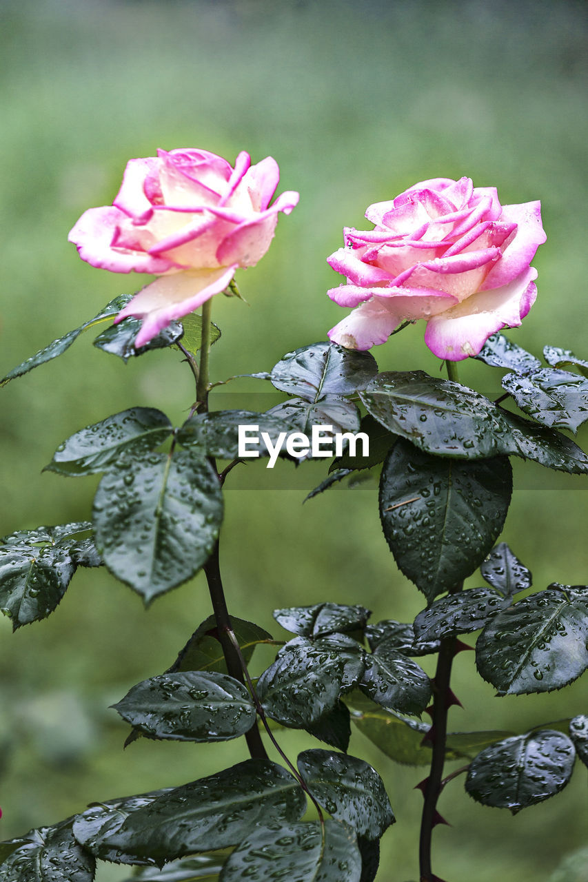 plant, flowering plant, flower, vulnerability, beauty in nature, fragility, pink color, growth, petal, close-up, freshness, nature, inflorescence, flower head, leaf, no people, plant part, focus on foreground, day, outdoors