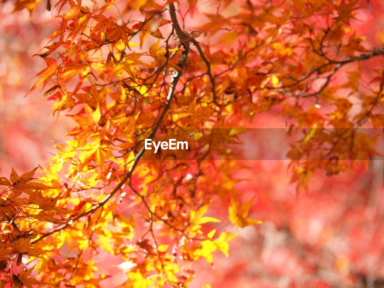 autumn, change, tree, leaf, beauty in nature, nature, growth, orange color, branch, outdoors, maple tree, day, maple leaf, no people, freshness, close-up, fragility, maple