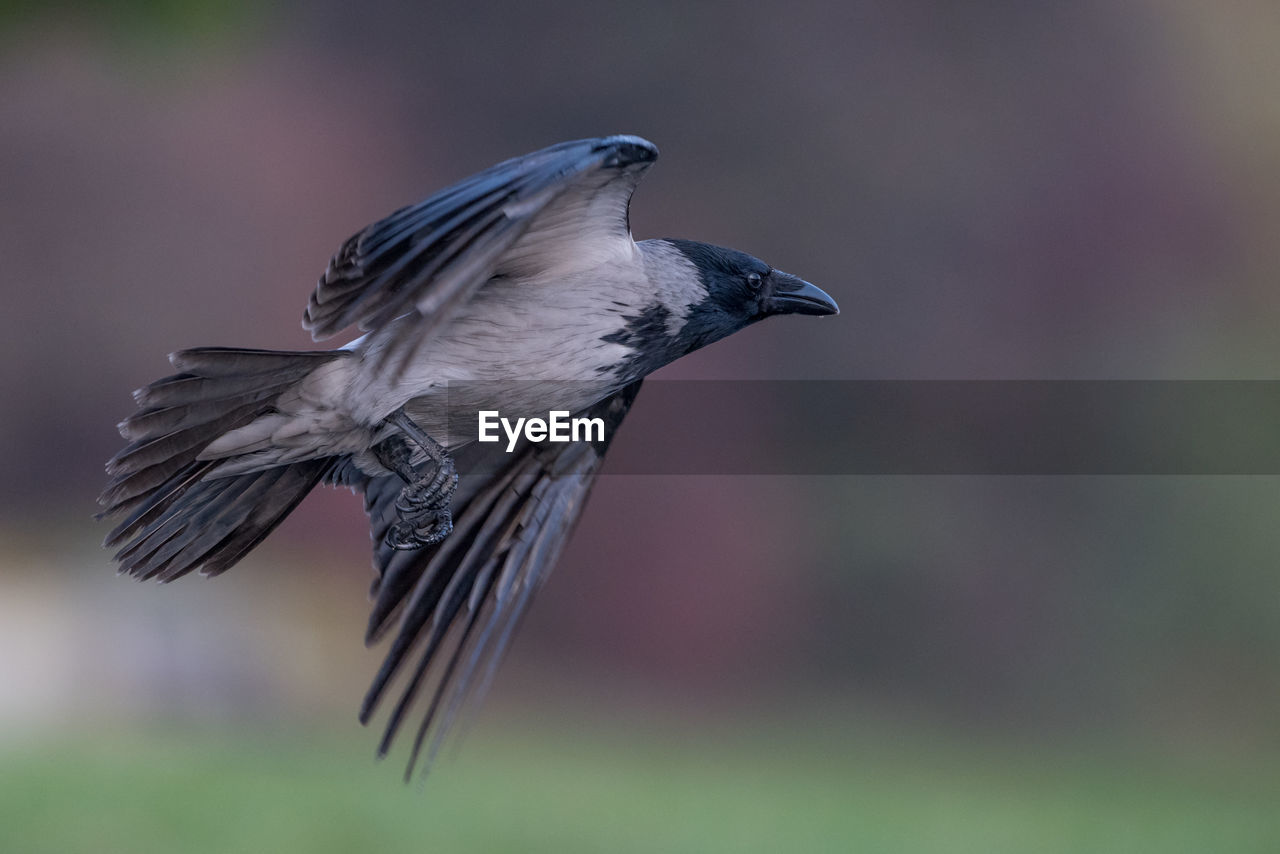 bird, vertebrate, animal, animals in the wild, animal themes, animal wildlife, one animal, flying, spread wings, focus on foreground, no people, day, close-up, mid-air, nature, outdoors, side view, feather, beauty in nature, black color