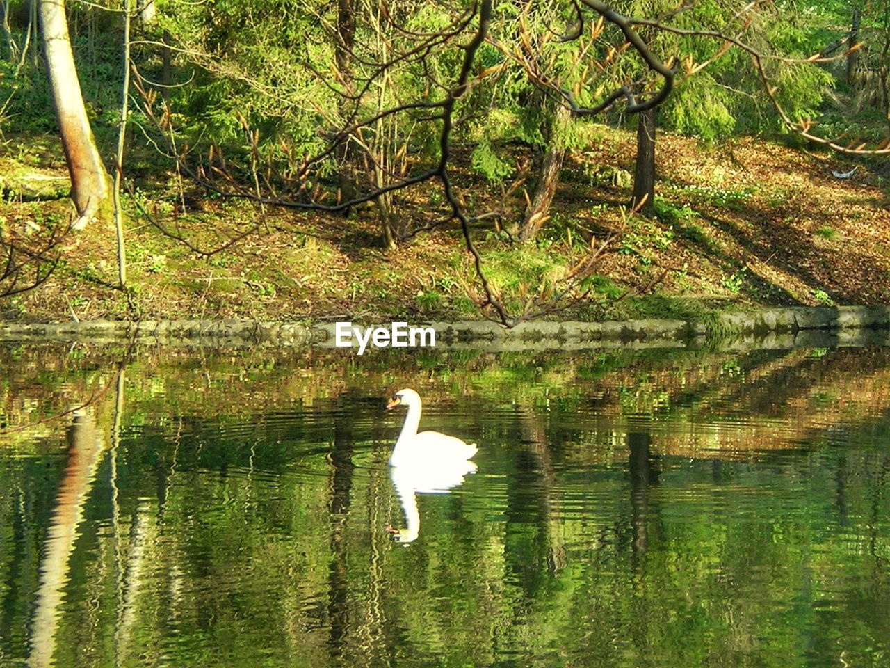 water, lake, animal wildlife, animals in the wild, animal themes, animal, vertebrate, bird, reflection, tree, plant, waterfront, nature, one animal, day, water bird, beauty in nature, swimming, swan, no people, outdoors, floating on water