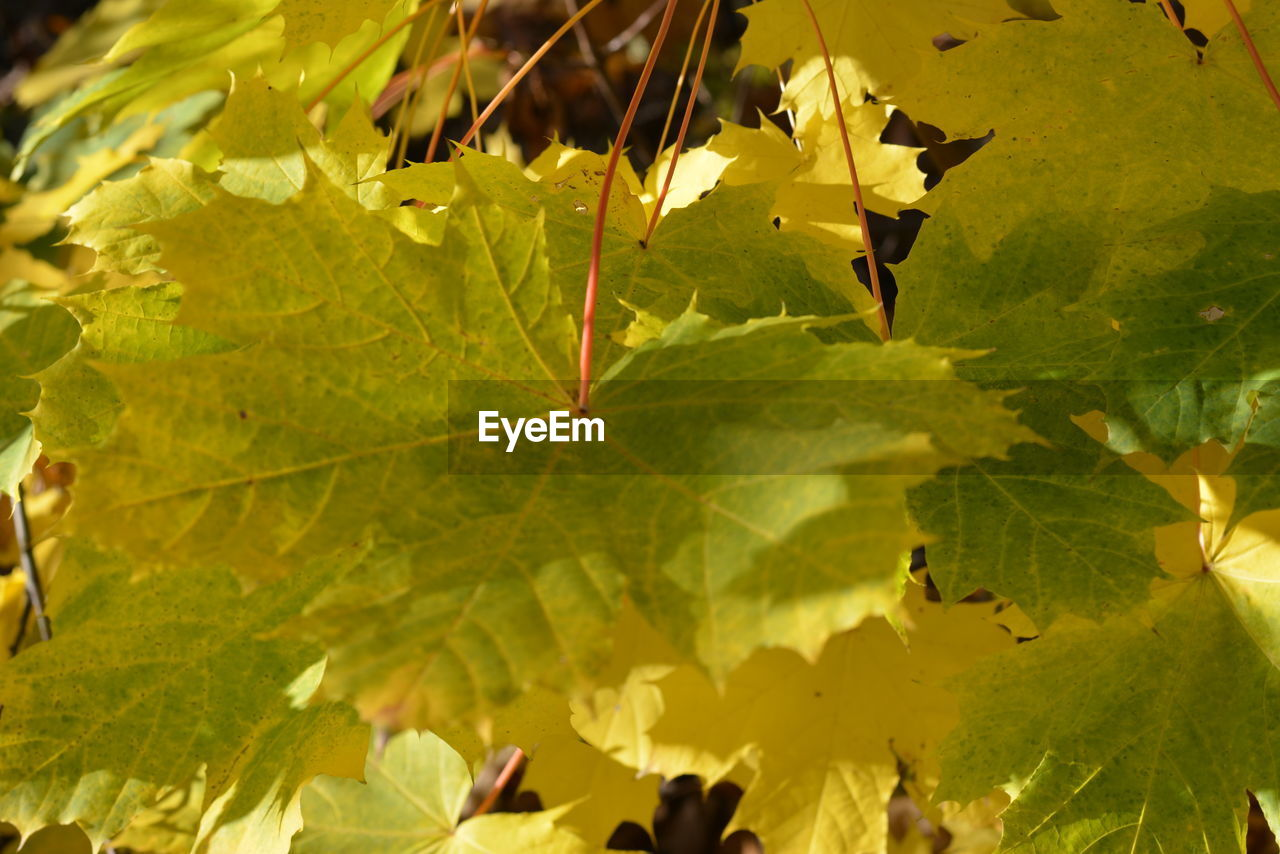leaf, growth, nature, green color, day, close-up, beauty in nature, outdoors, no people, fragility, branch, freshness, maple