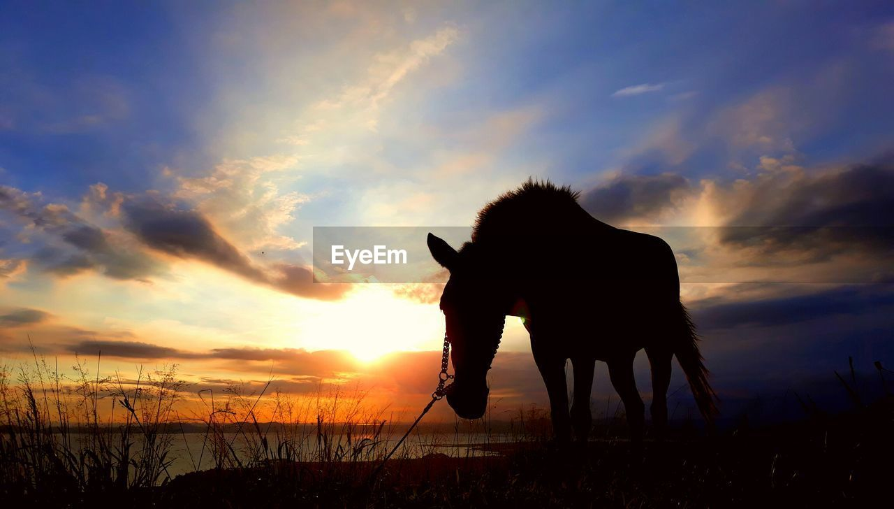 sunset, sky, cloud - sky, silhouette, mammal, beauty in nature, one animal, animal, domestic animals, animal themes, orange color, vertebrate, nature, pets, domestic, land, field, scenics - nature, tranquil scene, tranquility, no people, outdoors, herbivorous