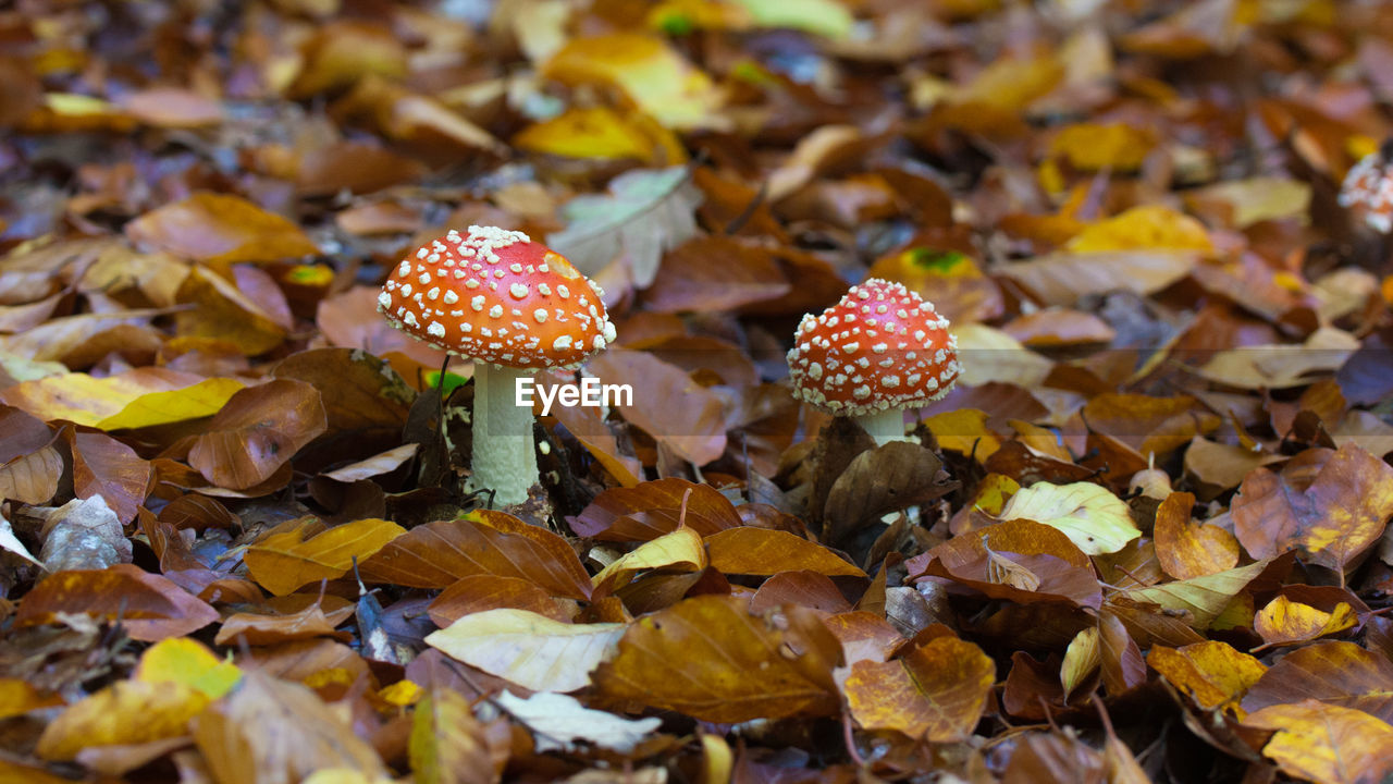 mushroom, fungus, leaf, plant part, food, beauty in nature, land, growth, close-up, vegetable, autumn, no people, plant, nature, day, fly agaric mushroom, field, change, selective focus, vulnerability, leaves, toadstool, outdoors