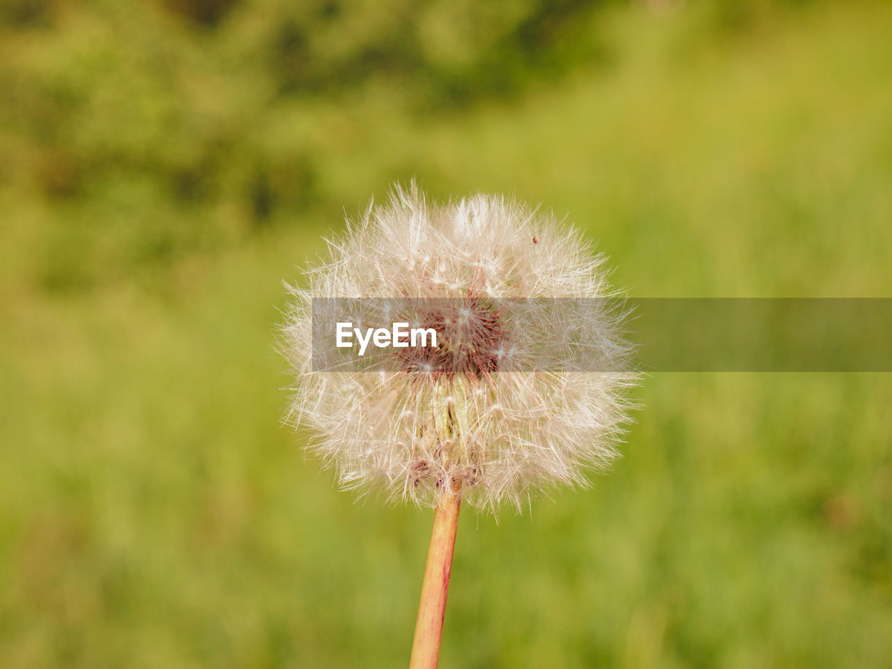 fragility, flower, plant, flowering plant, vulnerability, dandelion, freshness, beauty in nature, close-up, growth, focus on foreground, nature, day, inflorescence, flower head, no people, plant stem, outdoors, softness, dandelion seed
