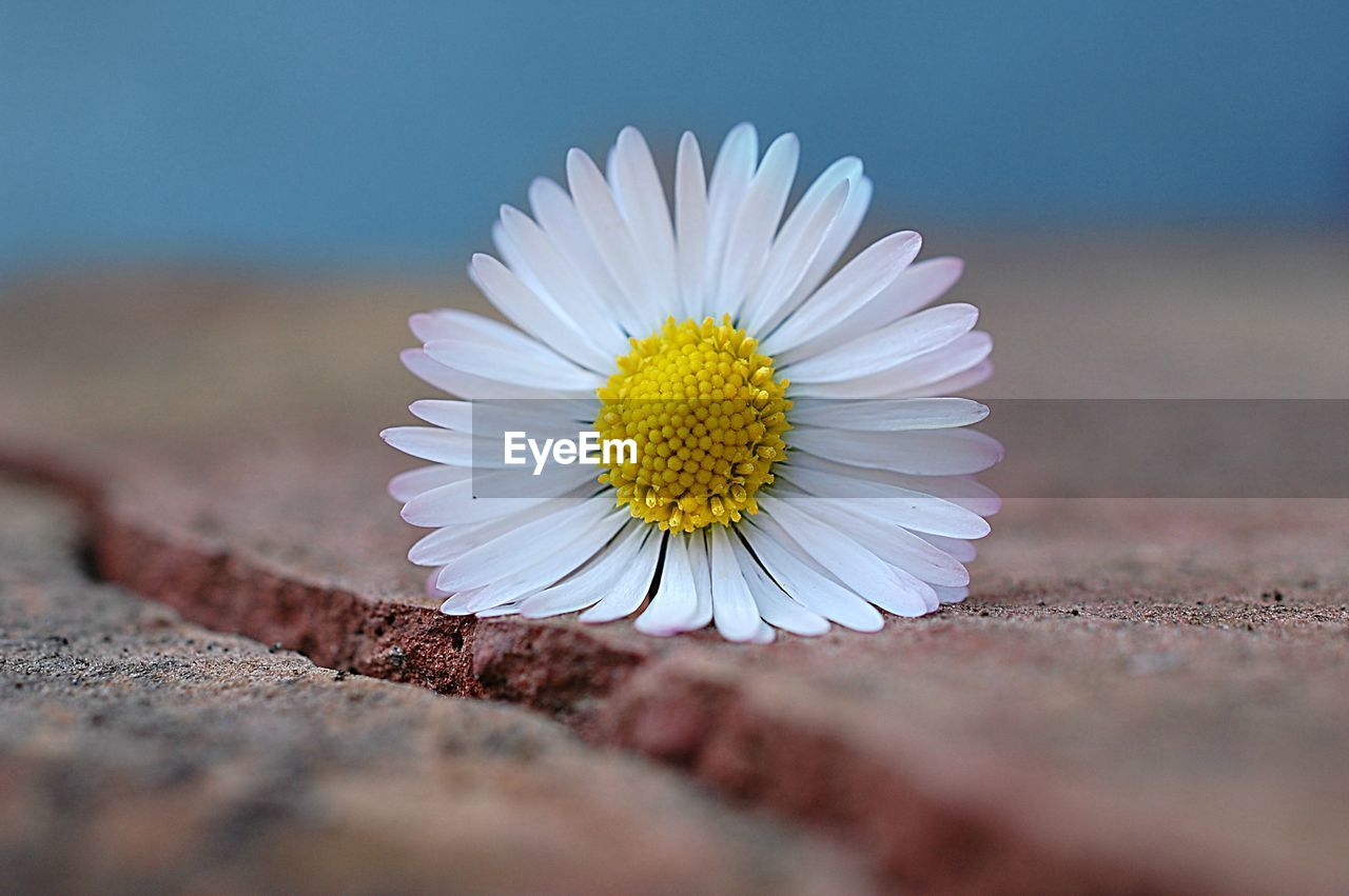 CLOSE-UP OF DAISY AGAINST WHITE WALL