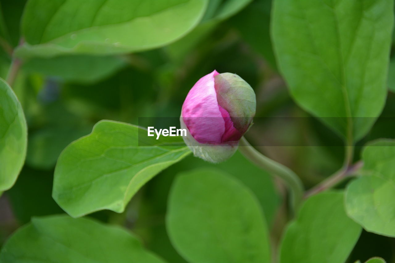 leaf, flower, plant, growth, petal, fragility, nature, green color, beauty in nature, freshness, flower head, no people, blooming, pink color, close-up, new life, outdoors, day