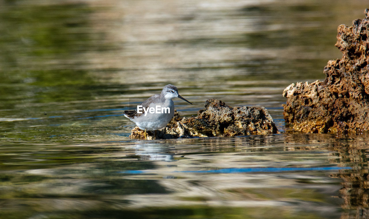 animal themes, animal, bird, animal wildlife, vertebrate, animals in the wild, water, one animal, selective focus, lake, no people, day, hunting, motion, nature, outdoors, animals hunting, survival