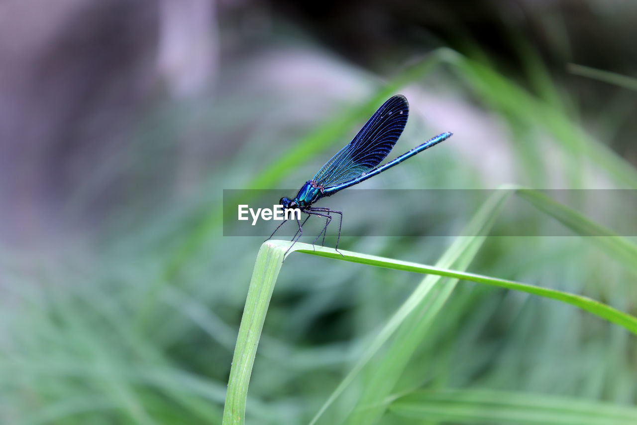 insect, invertebrate, animals in the wild, animal wildlife, one animal, animal themes, animal, plant, damselfly, green color, close-up, animal wing, focus on foreground, day, plant part, leaf, nature, growth, blue, no people, blade of grass