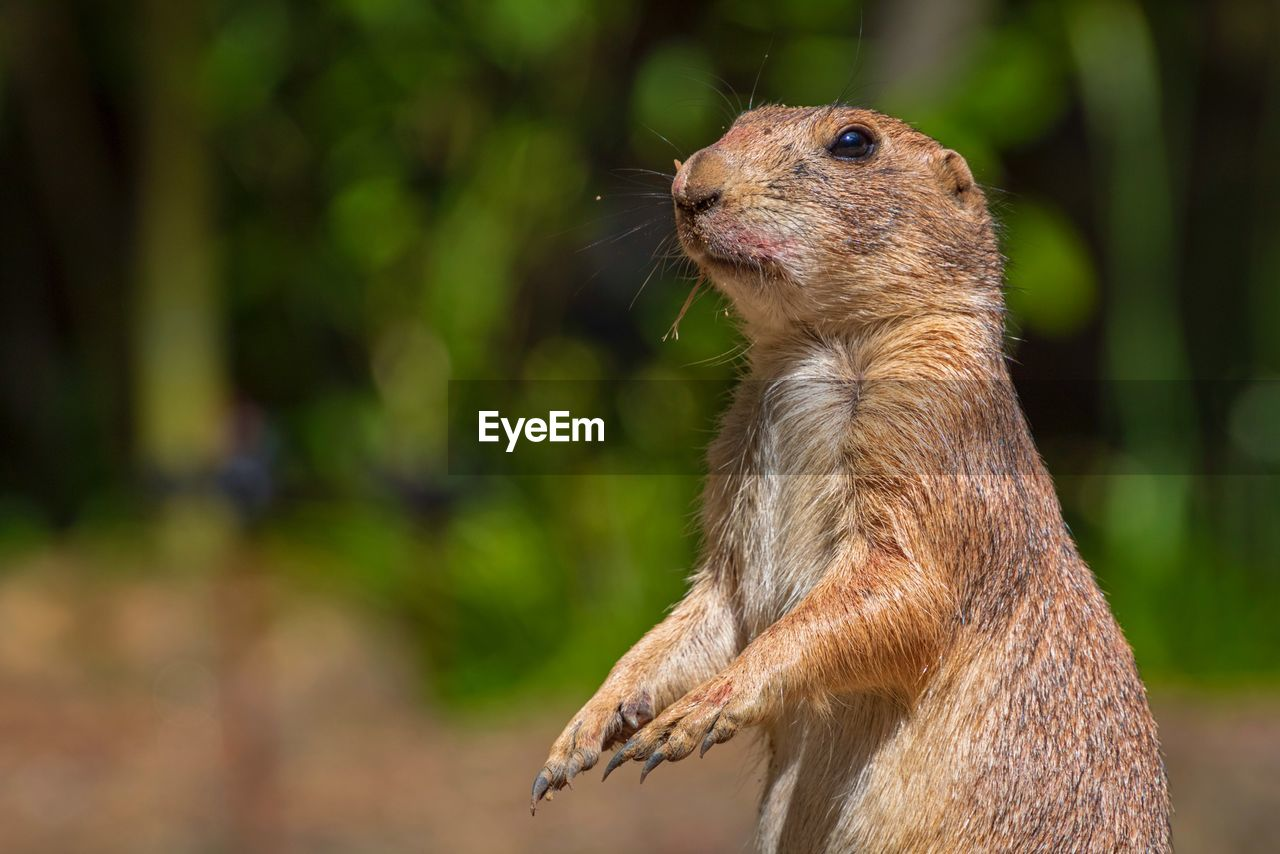animal themes, animal, animal wildlife, mammal, one animal, focus on foreground, animals in the wild, rodent, vertebrate, no people, close-up, day, nature, side view, looking, squirrel, outdoors, brown, looking away, animal body part, whisker, animal head, profile view, herbivorous