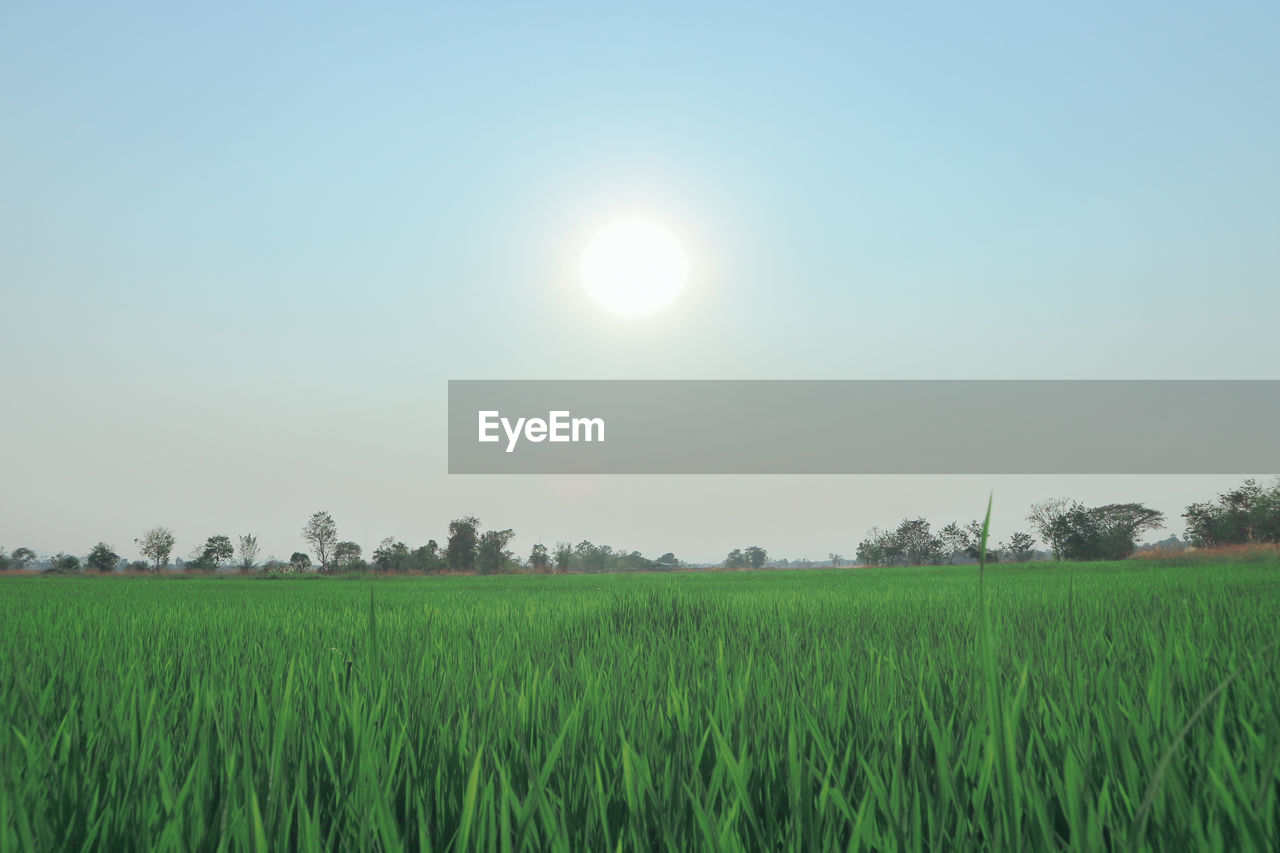 field, sky, beauty in nature, landscape, scenics - nature, tranquil scene, land, tranquility, environment, plant, rural scene, growth, agriculture, green color, nature, grass, sun, crop, idyllic, no people, outdoors, stalk, plantation