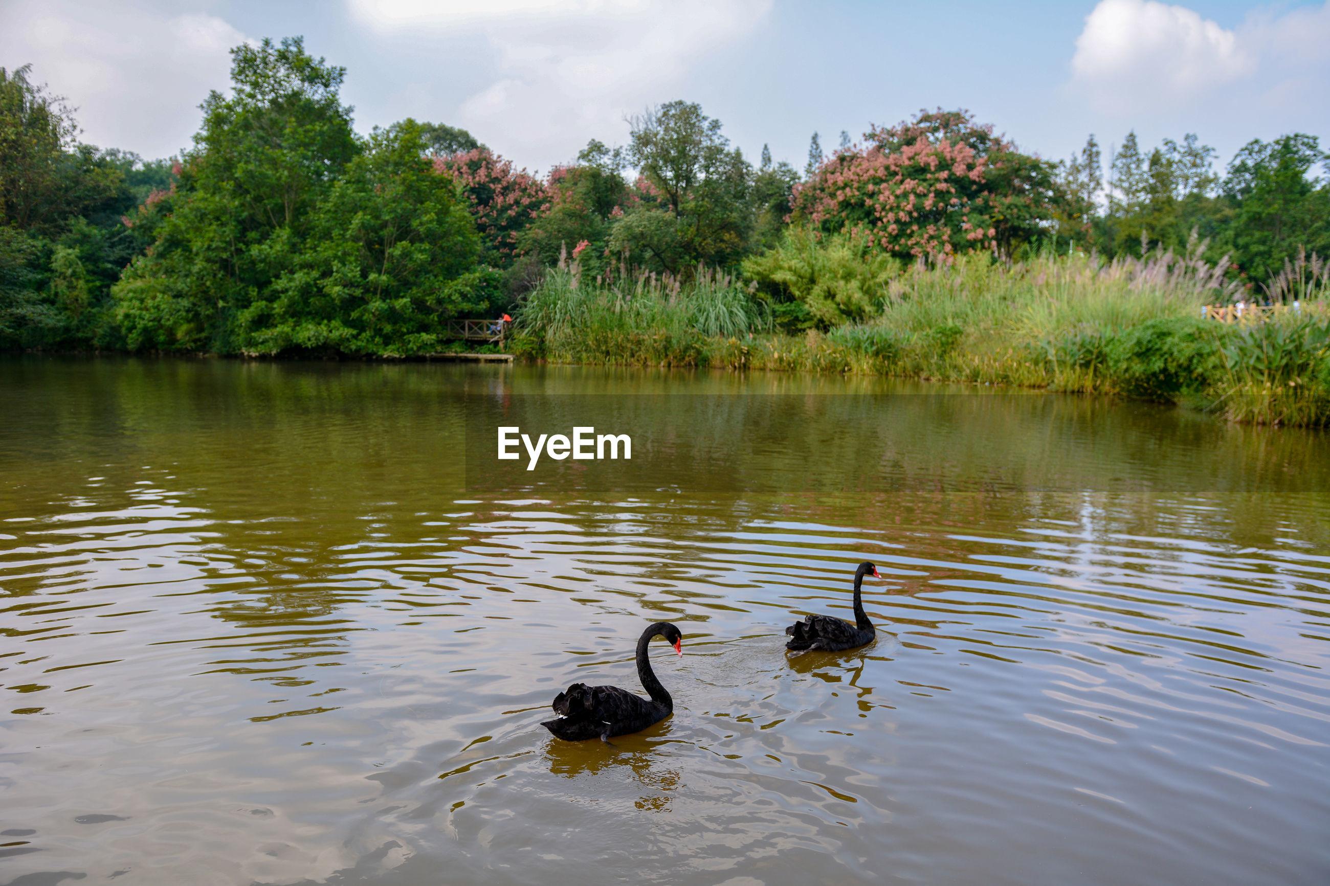 Black swans swimming in lake against trees
