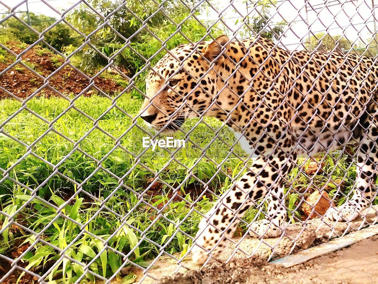 one animal, animal themes, leopard, animals in the wild, mammal, feline, day, outdoors, animal wildlife, safari animals, no people, nature