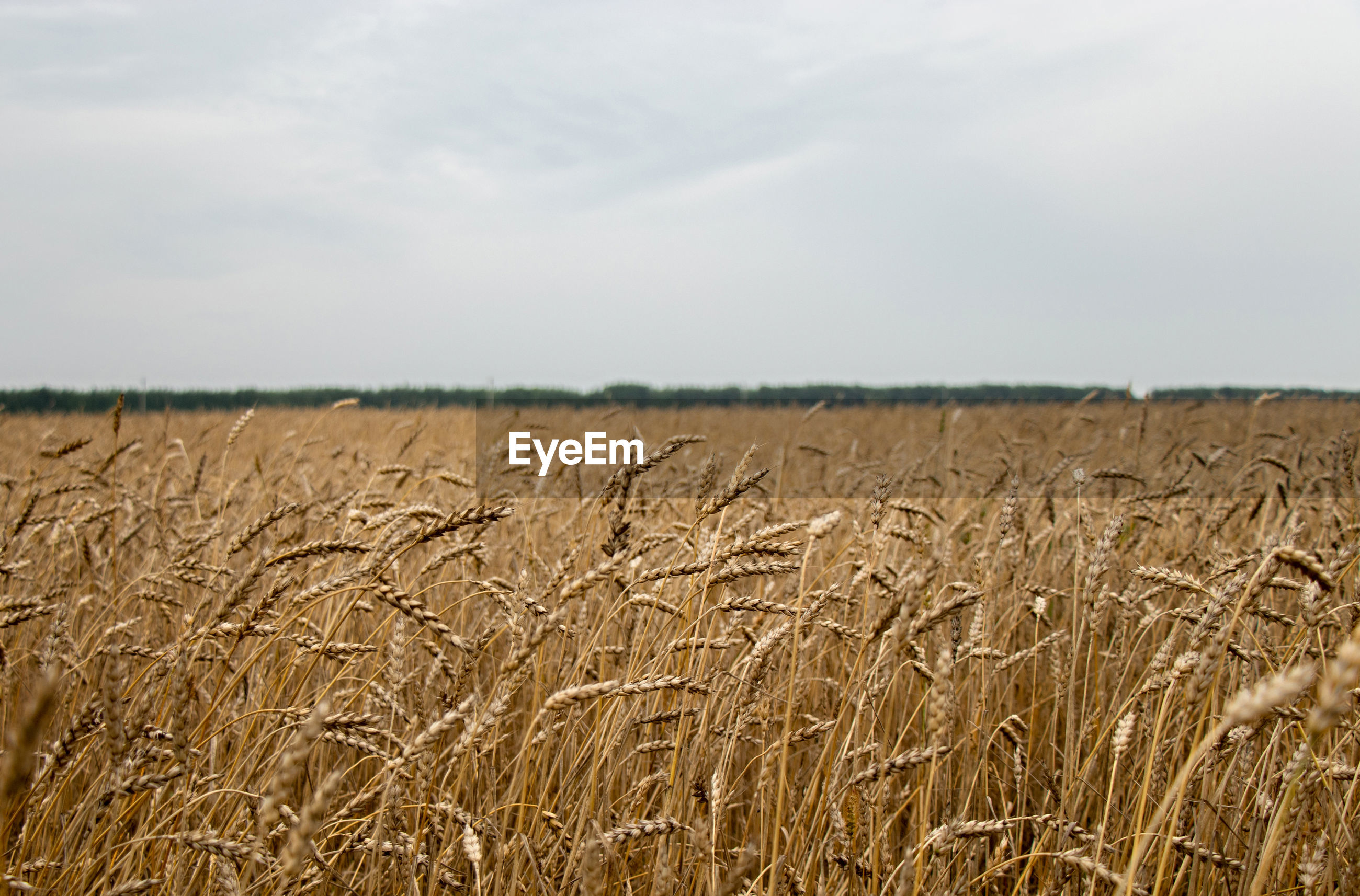 Agricultural field of golden wheat