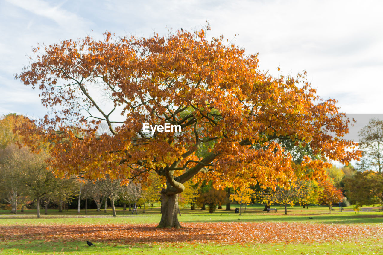 tree, autumn, nature, change, sky, beauty in nature, leaf, field, growth, scenics, tranquility, no people, grass, cloud - sky, park - man made space, outdoors, branch, day, landscape, freshness, maple