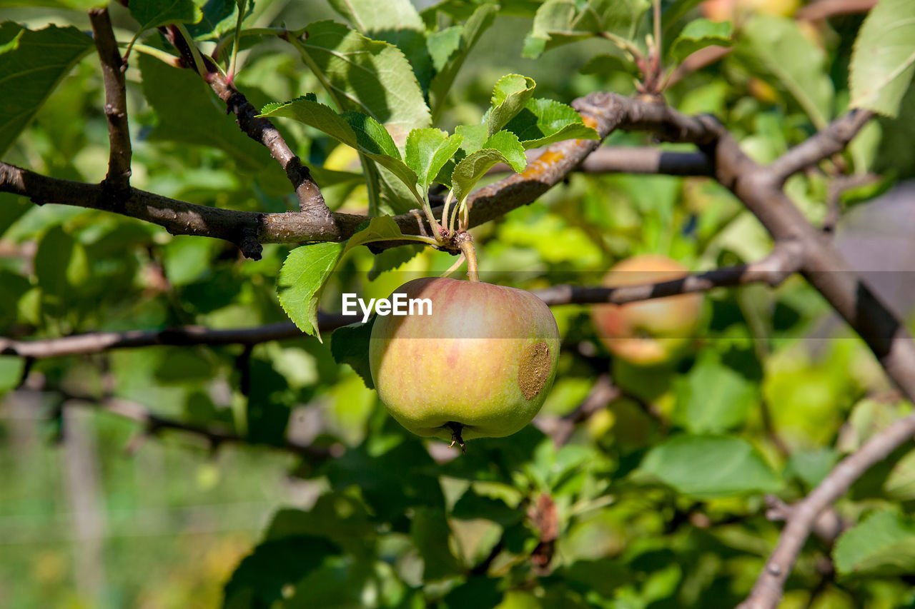 food and drink, fruit, healthy eating, food, plant, tree, growth, freshness, leaf, branch, focus on foreground, plant part, nature, wellbeing, close-up, day, no people, fruit tree, green color, outdoors, ripe