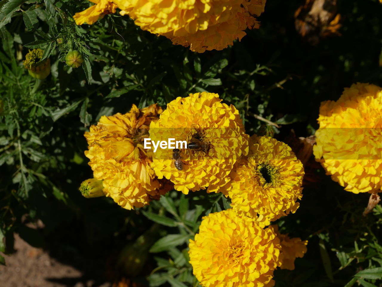 flower, yellow, fragility, petal, beauty in nature, flower head, freshness, growth, nature, outdoors, plant, no people, day, blooming, close-up, marigold, lantana camara