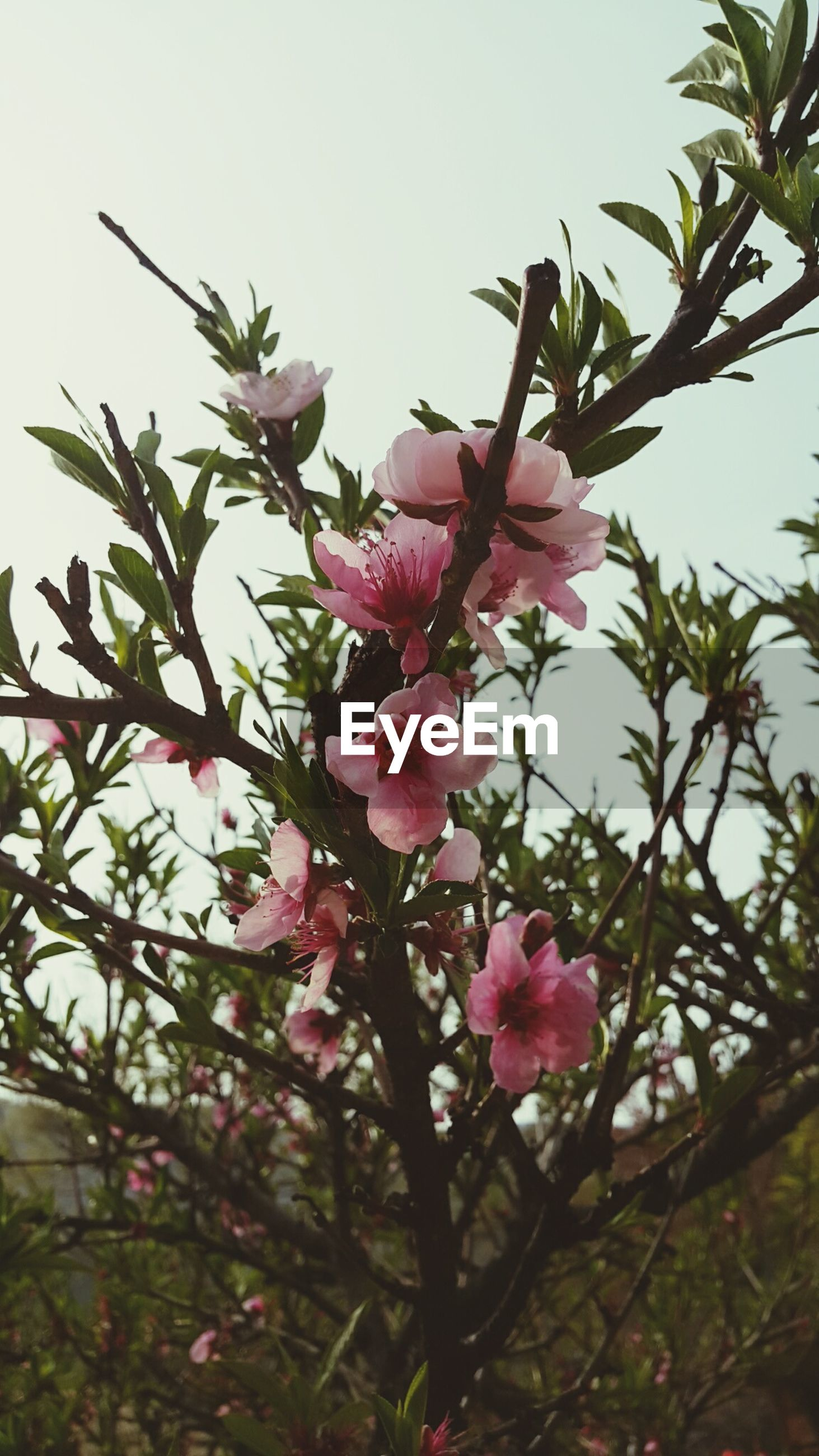 growth, flower, nature, pink color, beauty in nature, tree, low angle view, no people, freshness, plant, petal, sky, close-up, green color, outdoors, leaf, branch, day, fragility, flower head