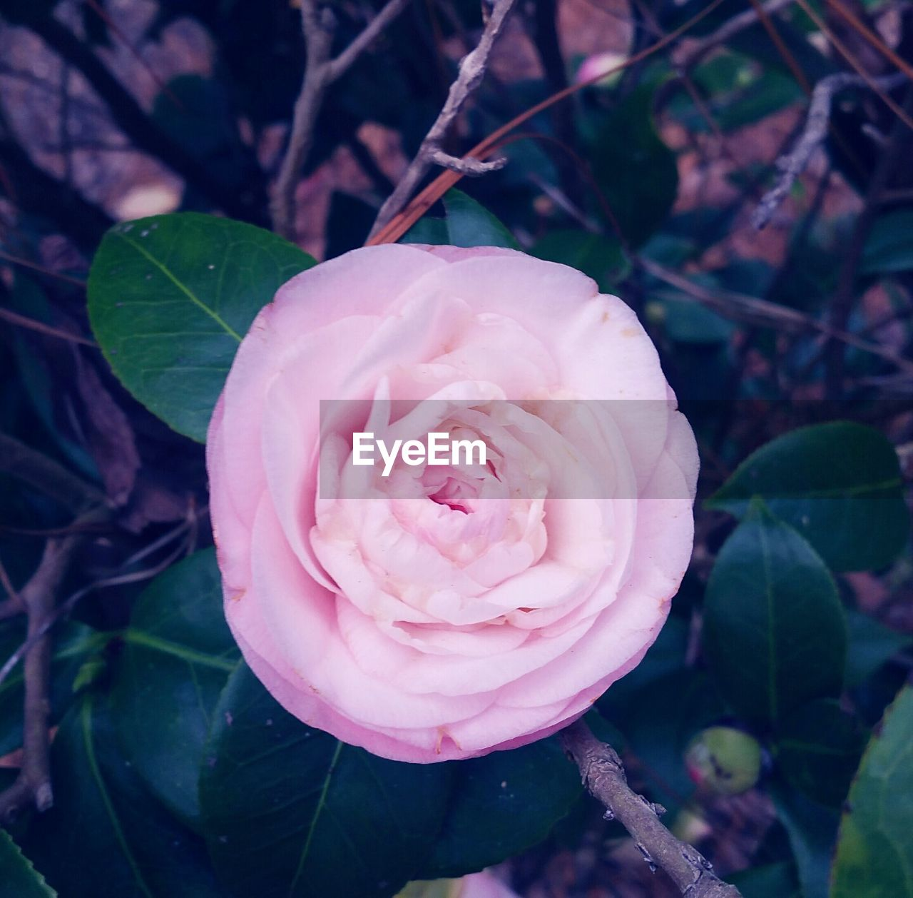 flower, petal, nature, fragility, beauty in nature, rose - flower, growth, flower head, freshness, plant, close-up, pink color, no people, blossom, outdoors, leaf, day, springtime, blooming