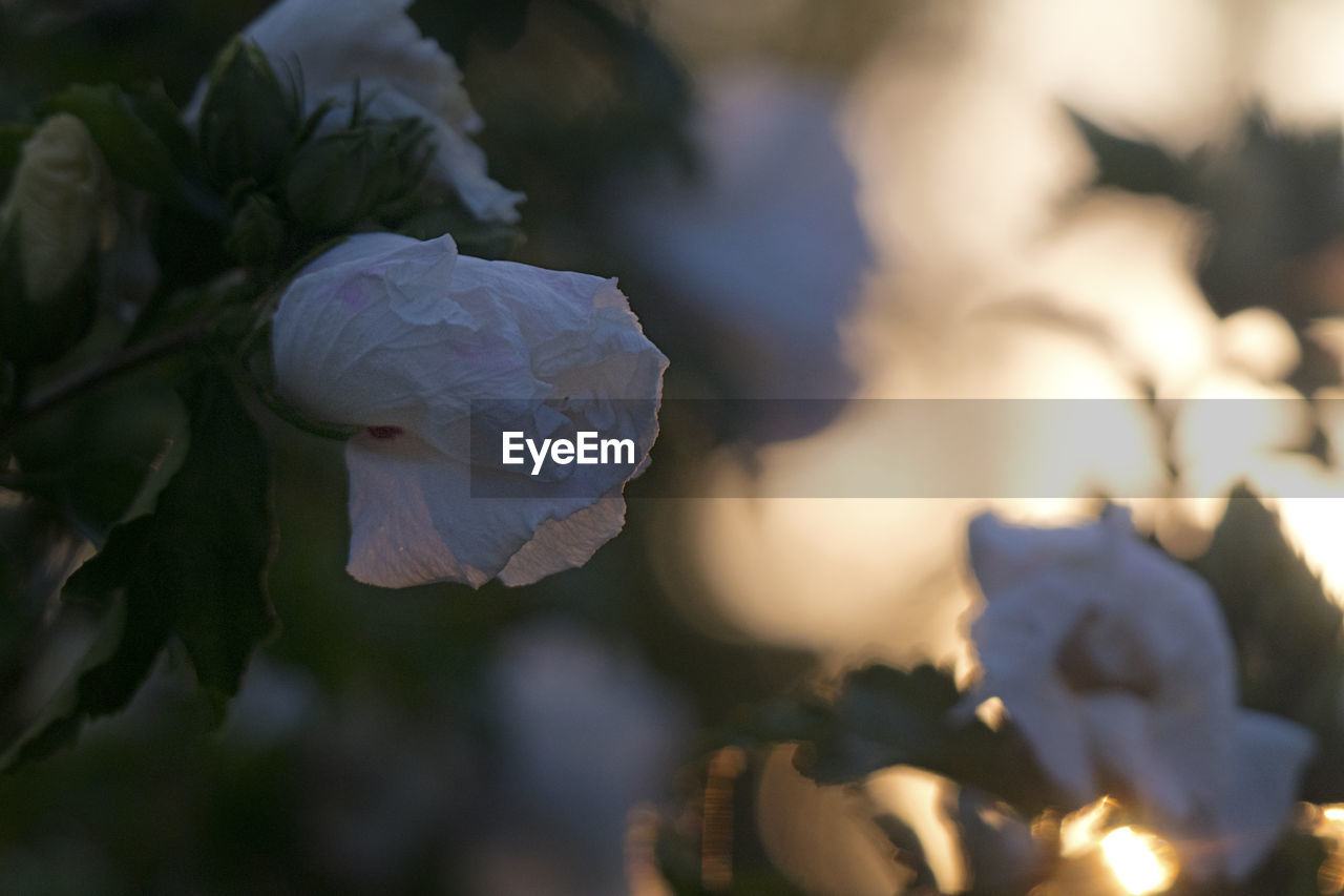 CLOSE-UP OF WHITE ROSE IN SUNLIGHT