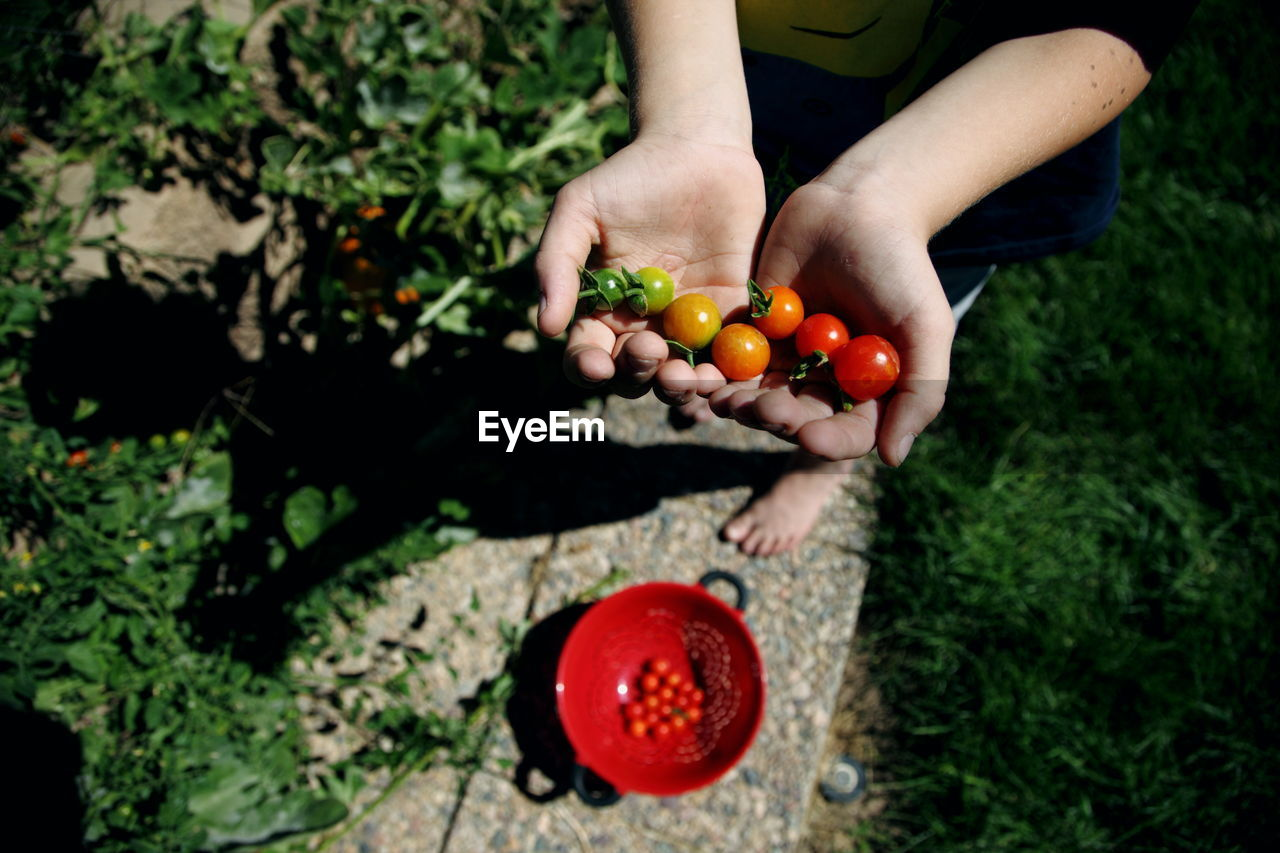 Low Section Of Person Holding Cherry Tomatoes At Backyard