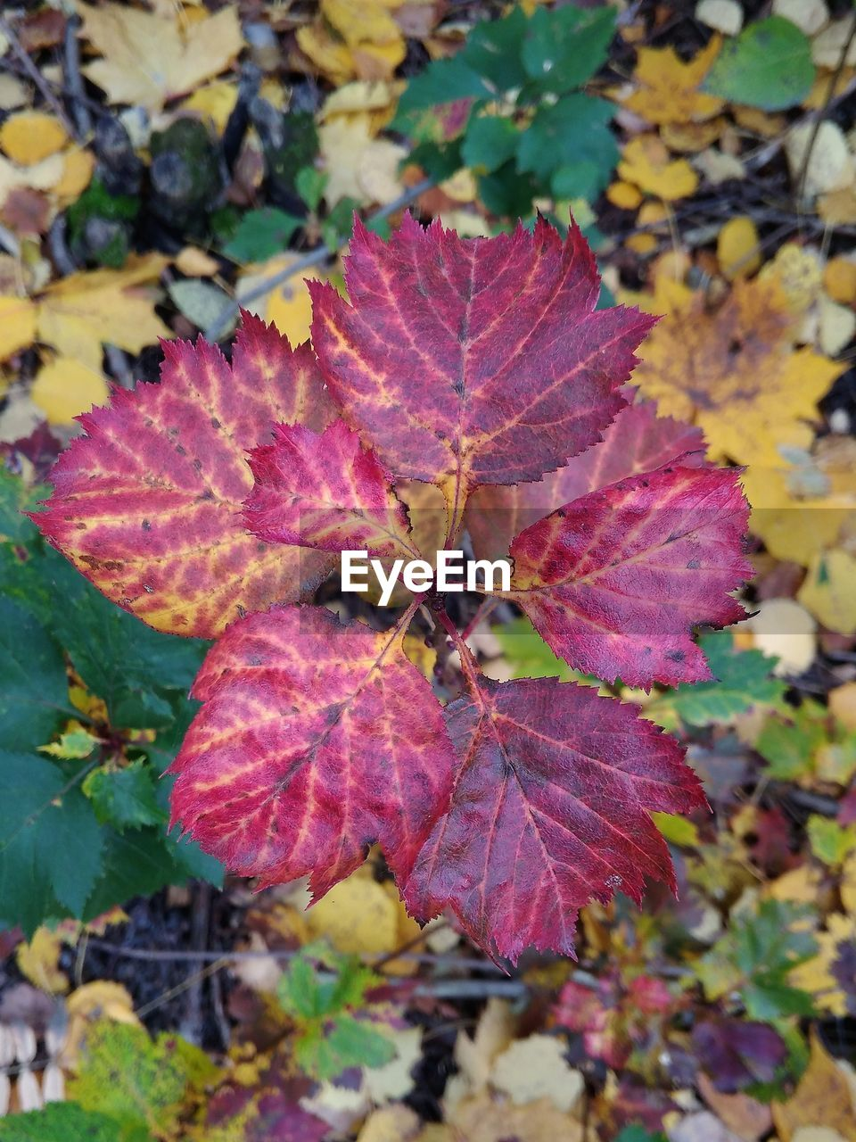 leaf, plant part, autumn, close-up, change, plant, beauty in nature, nature, no people, day, growth, focus on foreground, leaves, outdoors, vulnerability, maple leaf, fragility, tree, leaf vein, high angle view, natural condition, maroon, purple