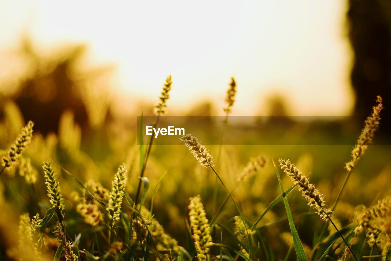 growth, plant, beauty in nature, field, close-up, nature, tranquility, land, selective focus, no people, focus on foreground, day, outdoors, agriculture, freshness, sky, crop, farm, sunlight, fragility, stalk