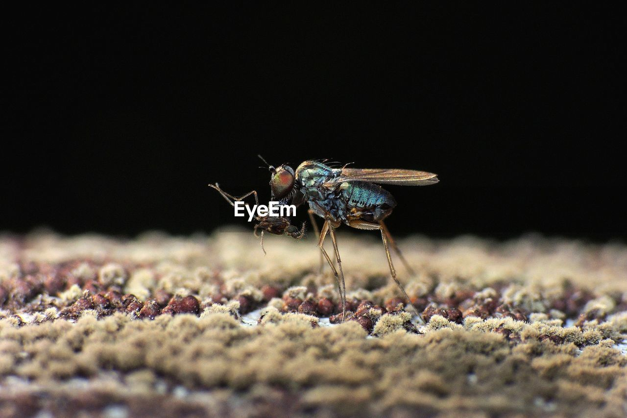 Bluebottle Fly Feeding On Insects