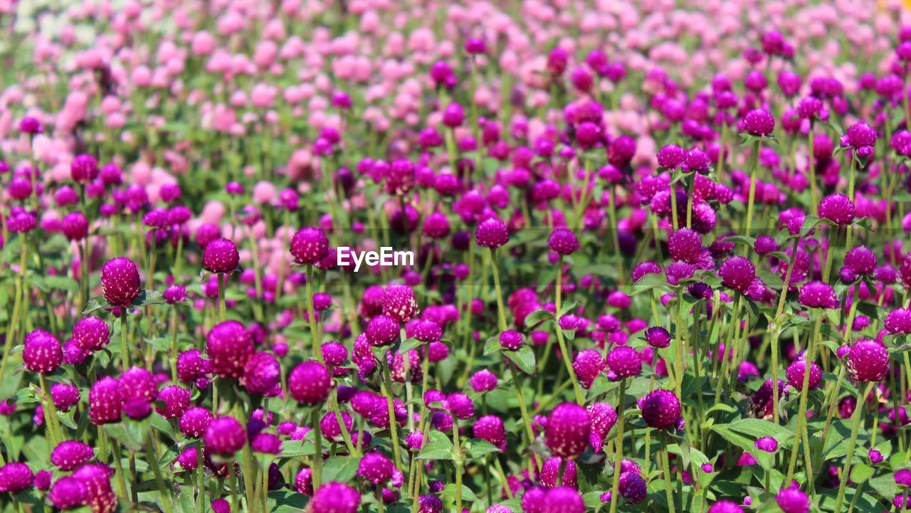 flower, purple, nature, growth, beauty in nature, plant, pink color, fragility, freshness, no people, day, outdoors, flower head, blooming, eastern purple coneflower, close-up
