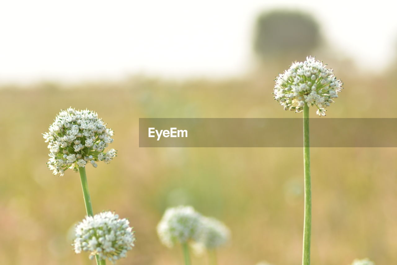 flower, flowering plant, plant, fragility, vulnerability, freshness, beauty in nature, growth, focus on foreground, close-up, nature, flower head, plant stem, inflorescence, no people, field, petal, day, land, white color, outdoors, sepal