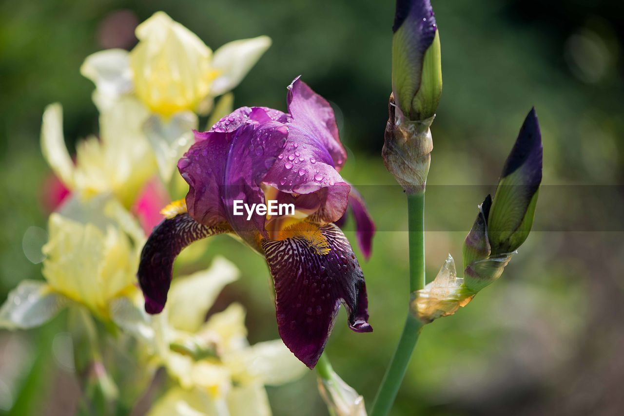 flower, flowering plant, plant, beauty in nature, vulnerability, fragility, growth, petal, freshness, close-up, flower head, inflorescence, nature, purple, day, drop, no people, focus on foreground, selective focus, outdoors, pollen, iris - plant, raindrop