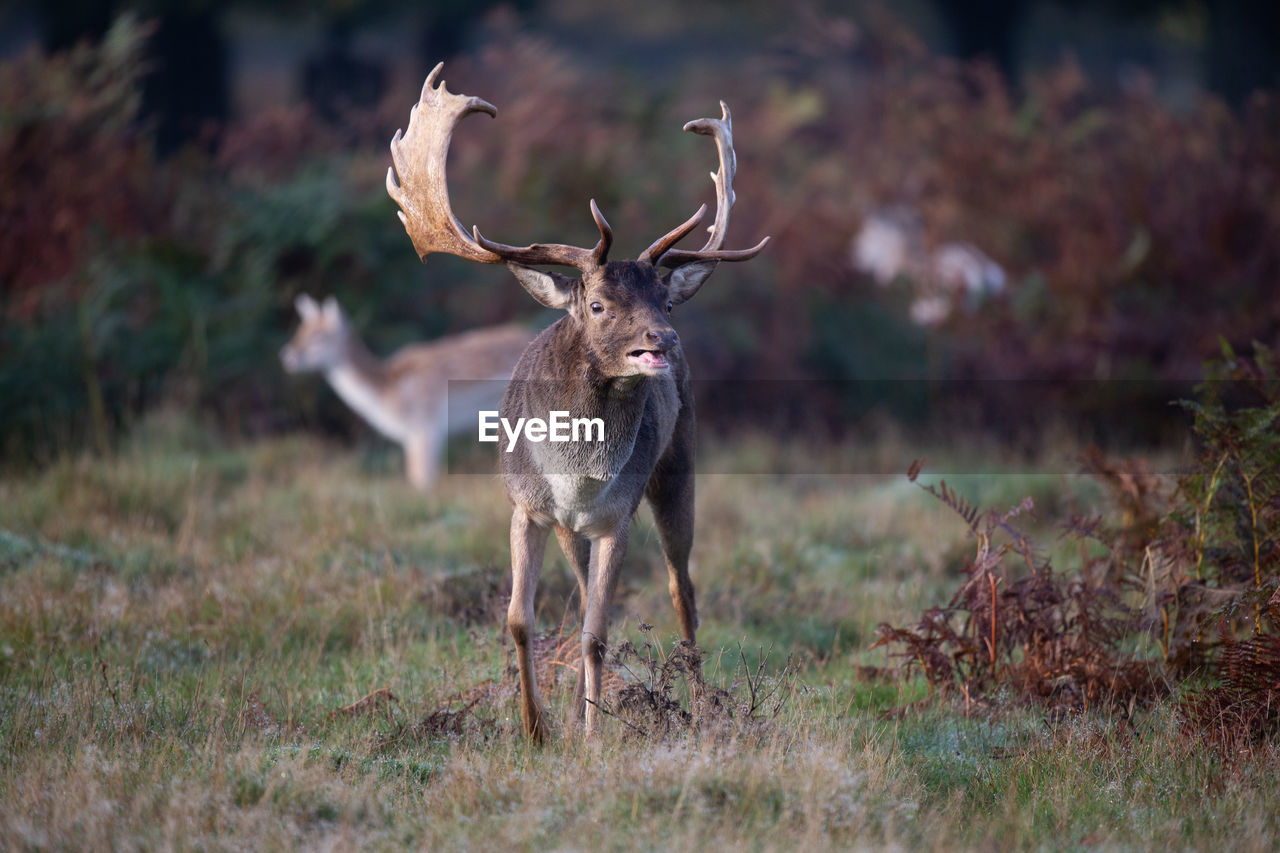 animal wildlife, animal, animal themes, animals in the wild, one animal, land, field, mammal, deer, plant, standing, nature, no people, day, antler, horned, vertebrate, grass, portrait, herbivorous, outdoors
