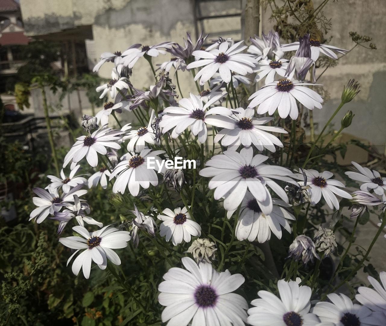 Osteospermum flowers growing outdoors