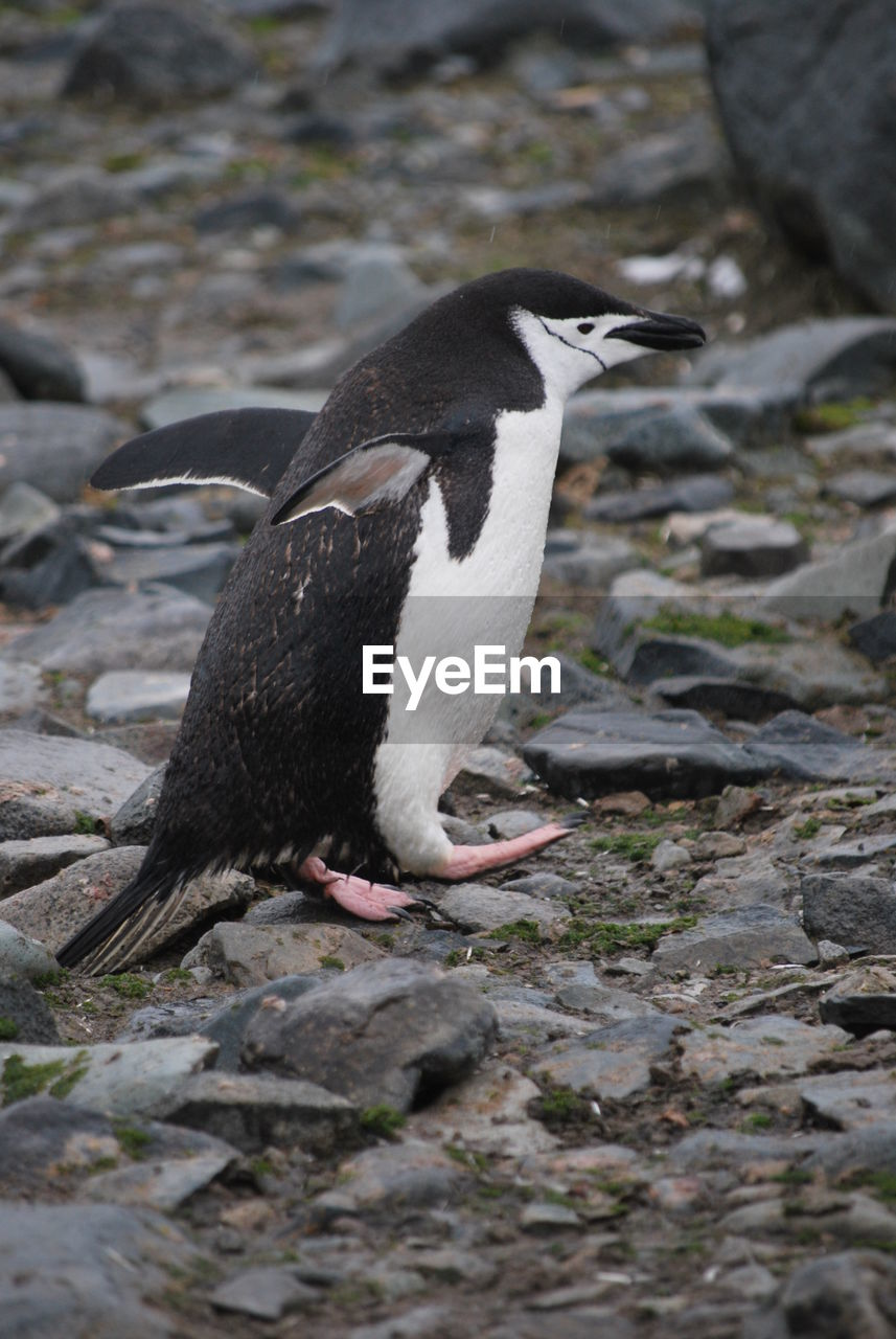 Side view of a penguin on rock