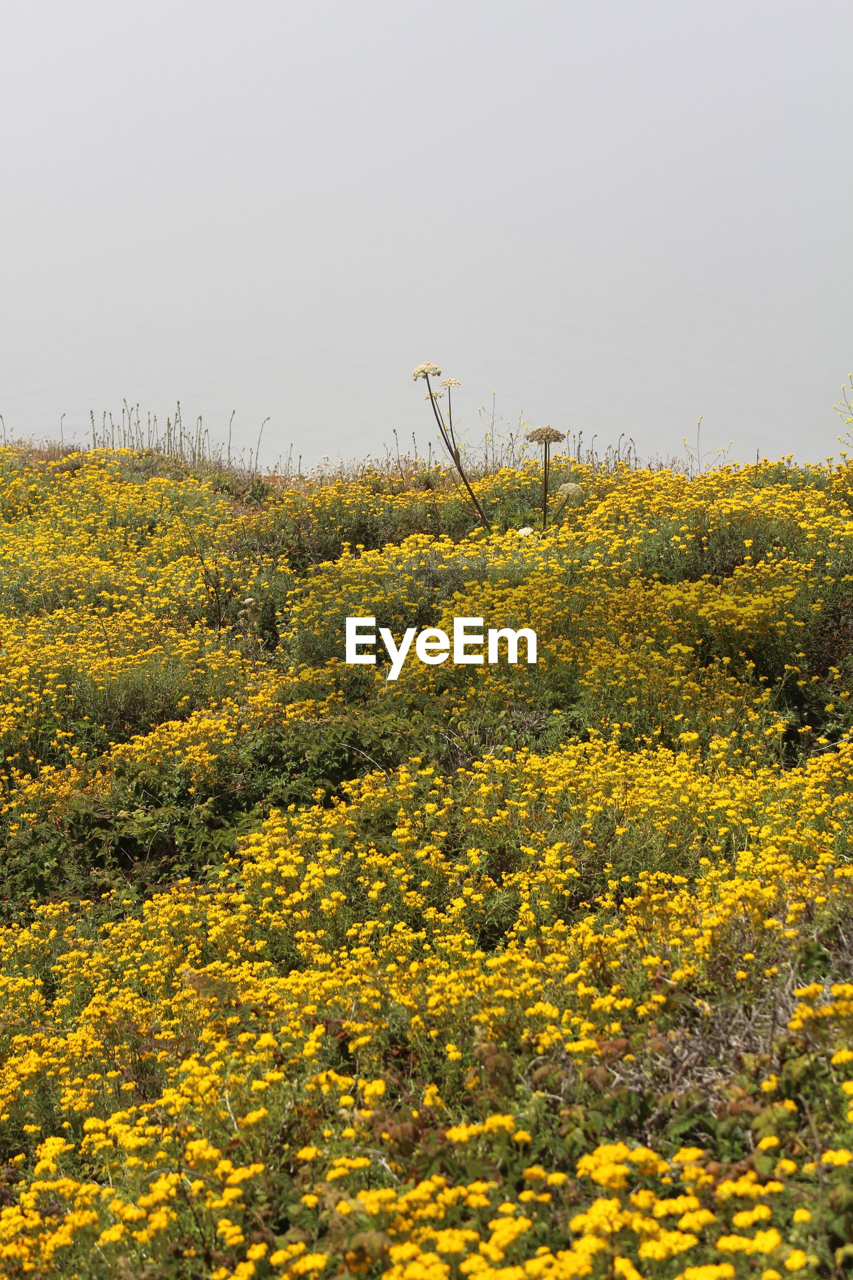 High angle view of yellow flowers on field against clear sky