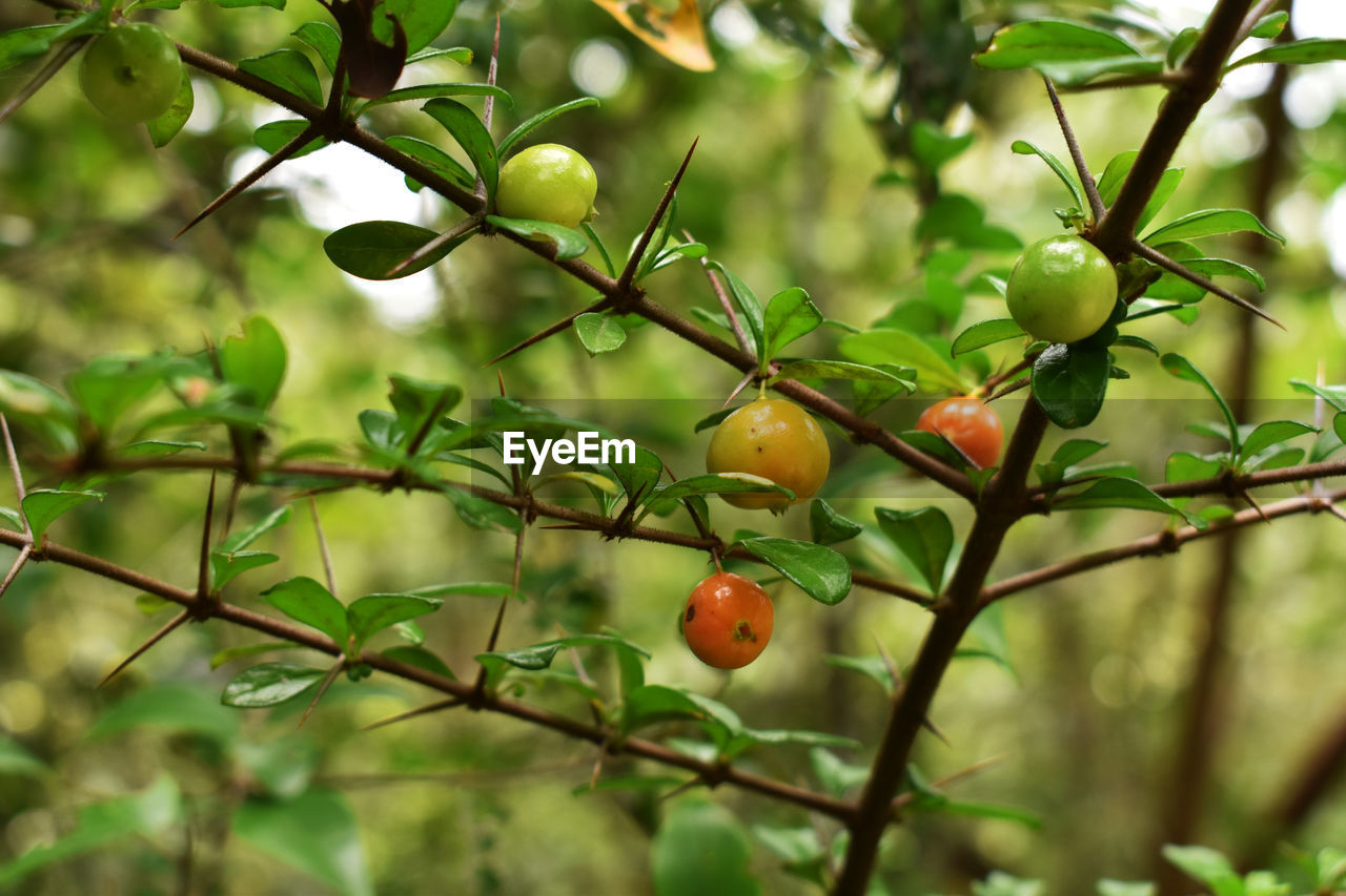 healthy eating, fruit, food, food and drink, plant, growth, tree, leaf, plant part, freshness, green color, close-up, branch, focus on foreground, no people, nature, day, wellbeing, selective focus, beauty in nature, outdoors, ripe