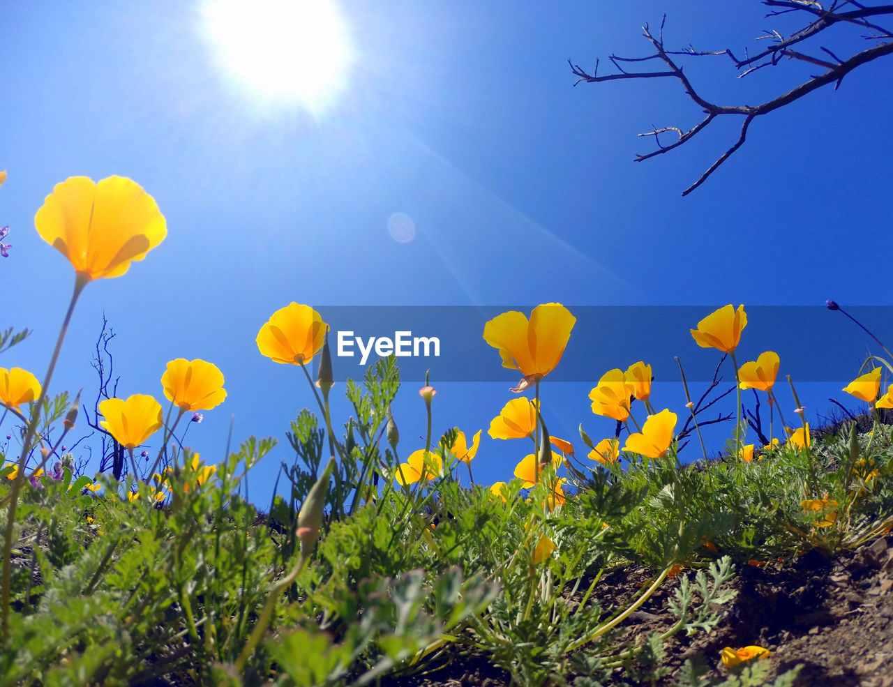 flower, nature, growth, field, beauty in nature, plant, sun, yellow, lens flare, sunbeam, sunlight, freshness, sky, grass, day, bright, outdoors, tranquility, rural scene, no people, fragility, petal, meadow, tranquil scene, scenics, springtime, low angle view, blue, landscape, clear sky, summer, oilseed rape, blooming, cosmos flower, flower head, close-up, crocus