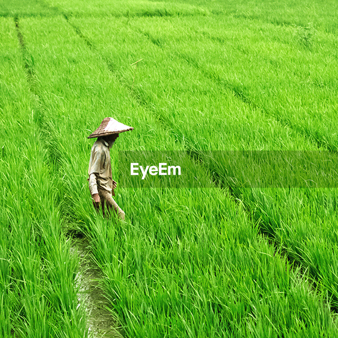 agriculture, hat, field, grass, asian style conical hat, farm, growth, farmer, green color, cultivated land, nature, real people, crop, rural scene, rice paddy, rice - cereal plant, outdoors, one person, cereal plant, women, occupation, day, working, beauty in nature, lifestyles, scenics, men, tea crop, adult, people