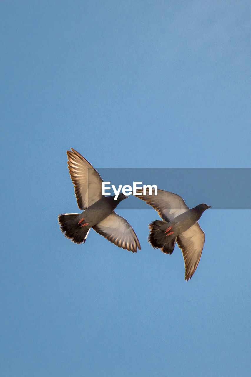 spread wings, vertebrate, animal, flying, animal wildlife, animals in the wild, bird, animal themes, sky, clear sky, low angle view, blue, copy space, group of animals, no people, motion, nature, two animals, mid-air, day, outdoors, flapping