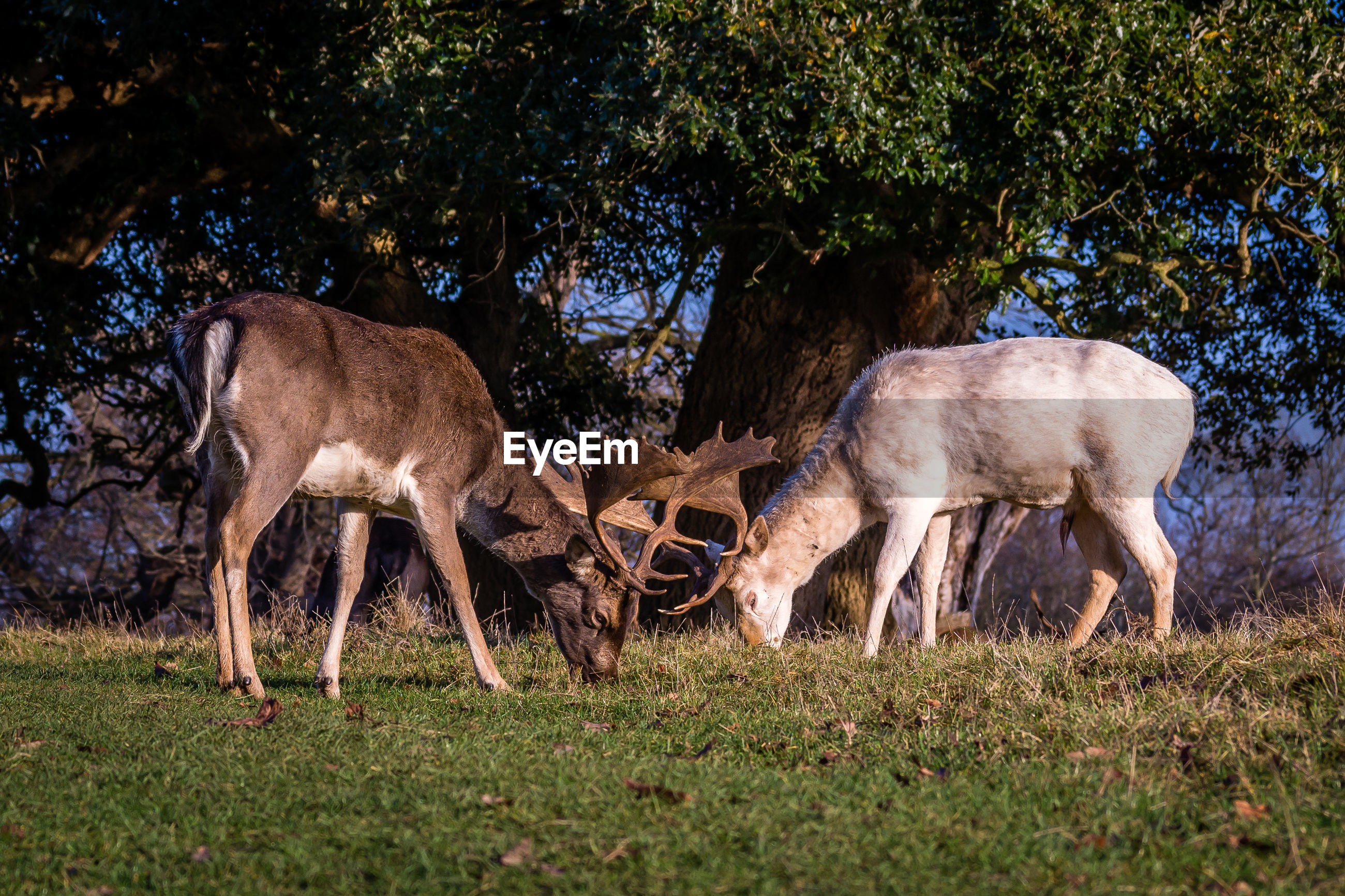 Deer grazing on grassy field