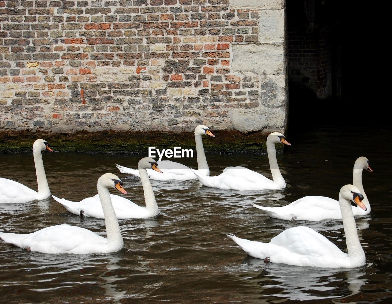 bird, group of animals, animals in the wild, animal themes, animal wildlife, animal, vertebrate, swan, day, water, white color, brick wall, brick, no people, lake, swimming, nature, wall, togetherness, animal family, cygnet, flock of birds