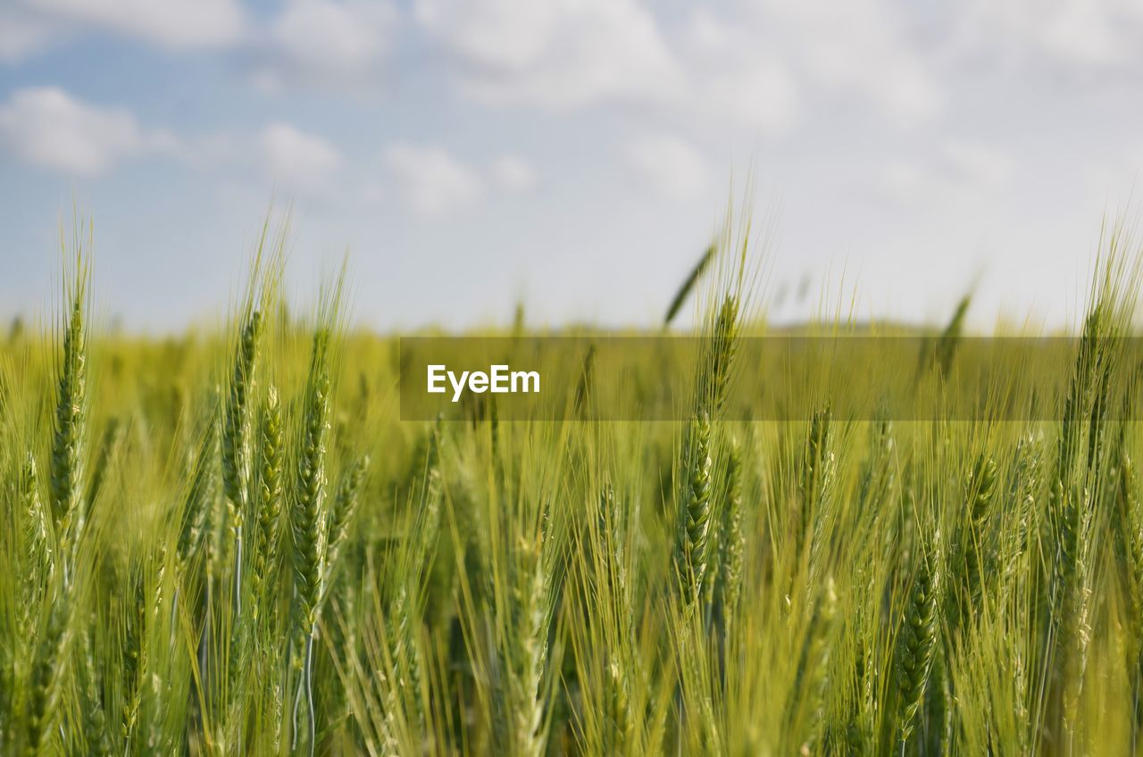 plant, green color, field, growth, land, agriculture, crop, farm, nature, rural scene, landscape, selective focus, cereal plant, grass, beauty in nature, sky, environment, day, tranquility, no people, outdoors, blade of grass