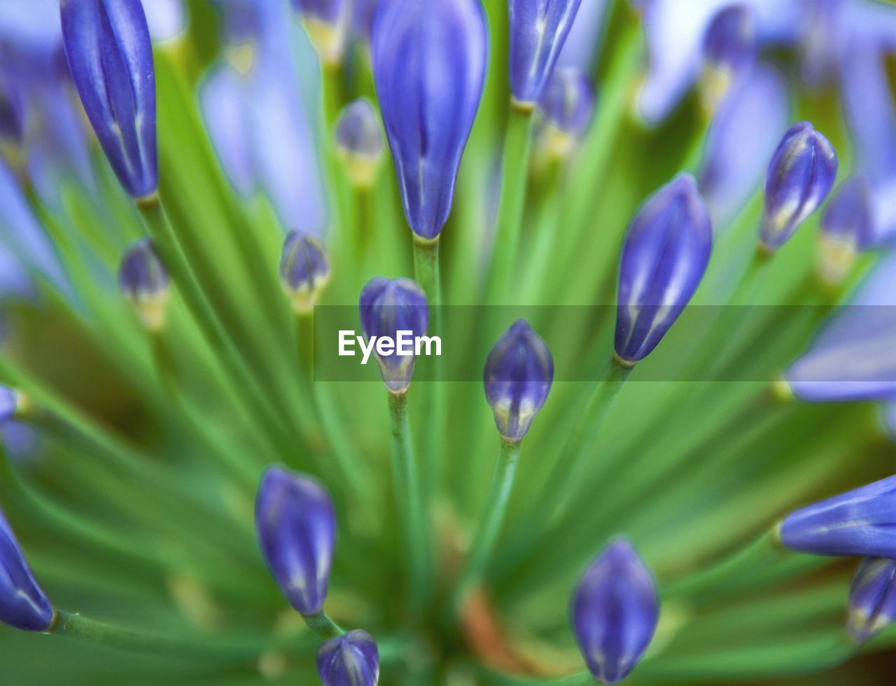 growth, nature, purple, plant, flower, beauty in nature, fragility, full frame, petal, freshness, no people, green color, tulip, close-up, outdoors, hyacinth, day, blooming, flower head