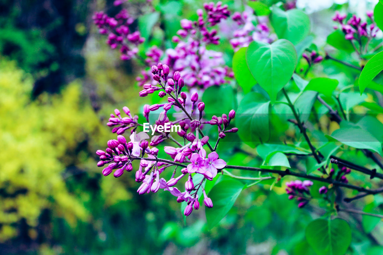 flowering plant, flower, beauty in nature, plant, vulnerability, fragility, growth, freshness, pink color, close-up, petal, focus on foreground, leaf, day, plant part, nature, selective focus, inflorescence, flower head, botany, no people, outdoors, springtime, purple, lilac, bunch of flowers, spring