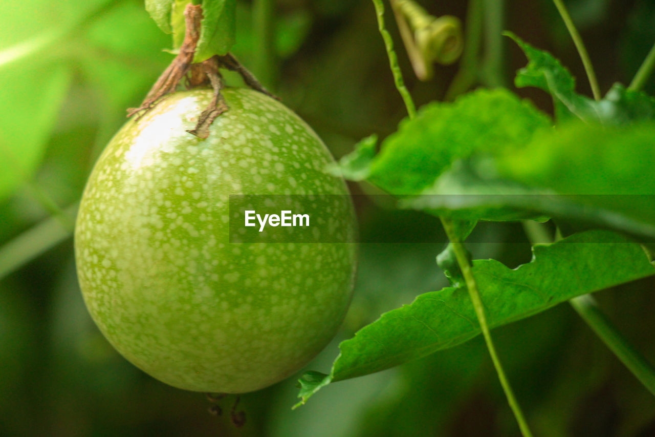 fruit, healthy eating, food and drink, food, green color, freshness, plant, close-up, growth, plant part, leaf, focus on foreground, no people, tree, wellbeing, nature, day, beauty in nature, fruit tree, citrus fruit, outdoors, ripe, orange, passion fruit