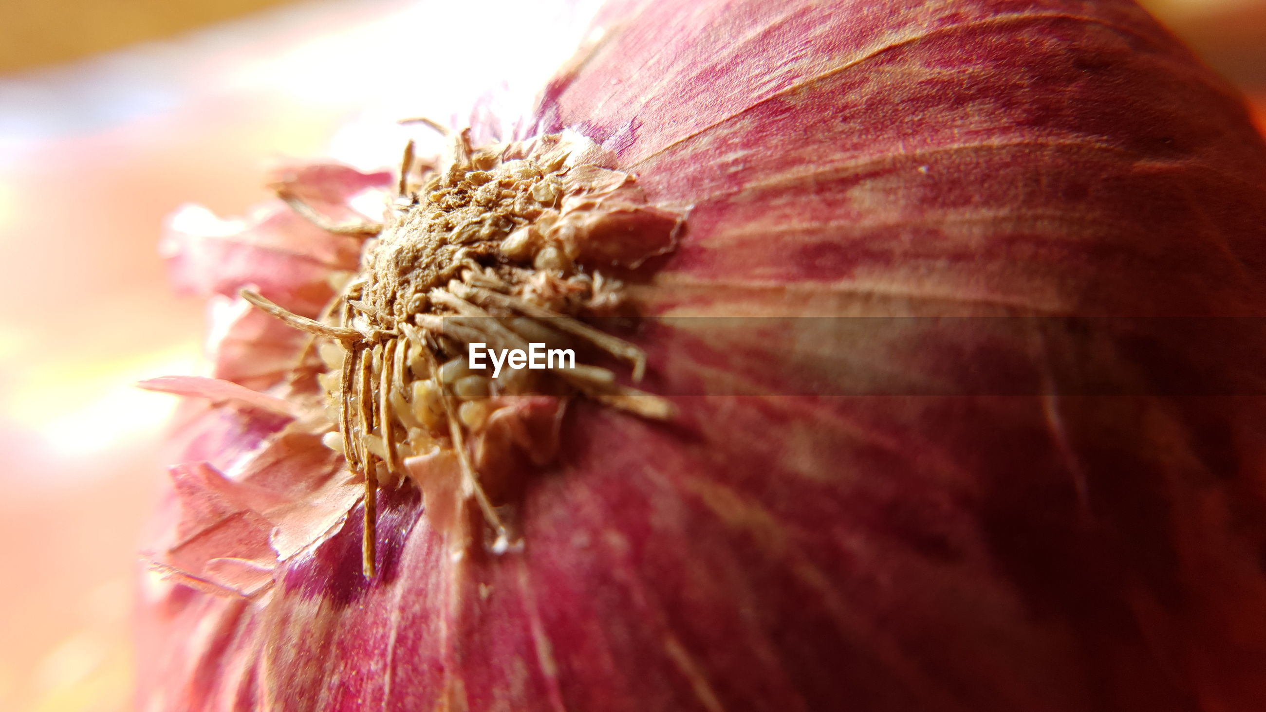 Close-up of an onion