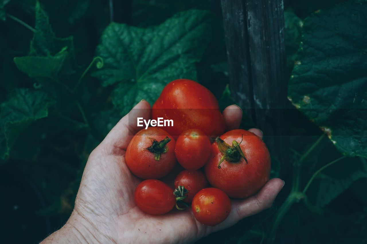 Cropped image of hand holding tomatoes