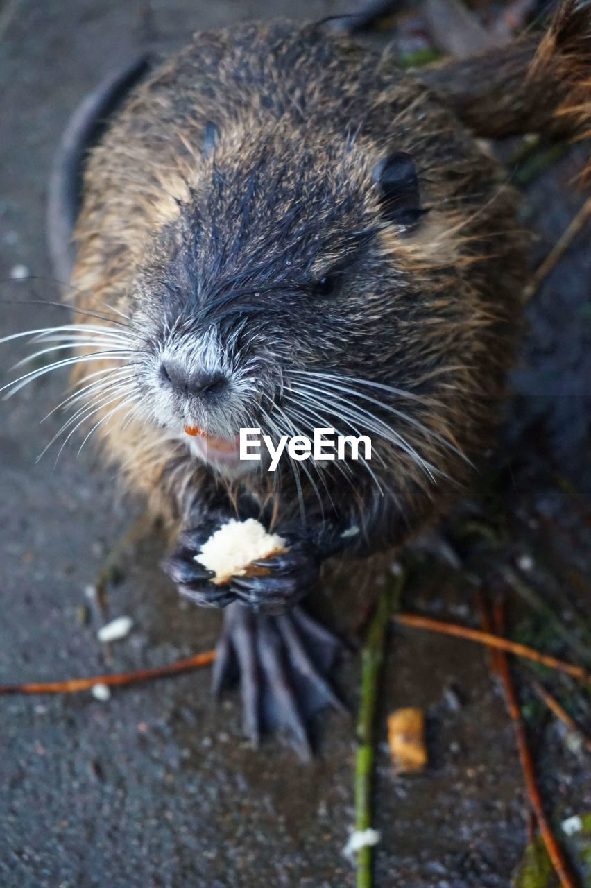 animal themes, animal, one animal, animal wildlife, rodent, mammal, no people, close-up, animals in the wild, day, eating, focus on foreground, vertebrate, whisker, nature, outdoors, high angle view, food, food and drink, rat