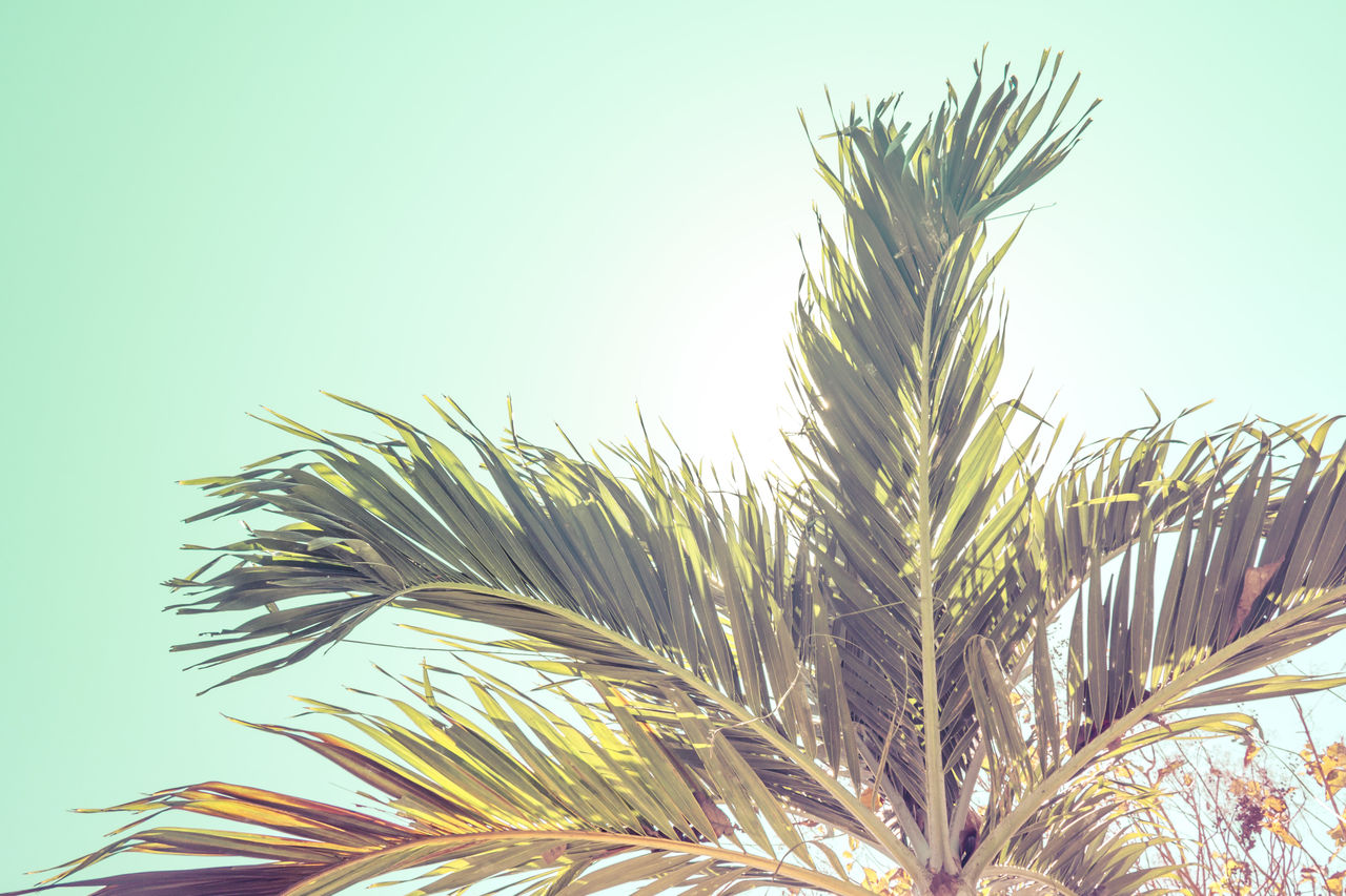 growth, plant, nature, sky, no people, clear sky, day, close-up, beauty in nature, low angle view, tranquility, green color, tree, tropical climate, leaf, outdoors, palm tree, palm leaf, sunlight, focus on foreground
