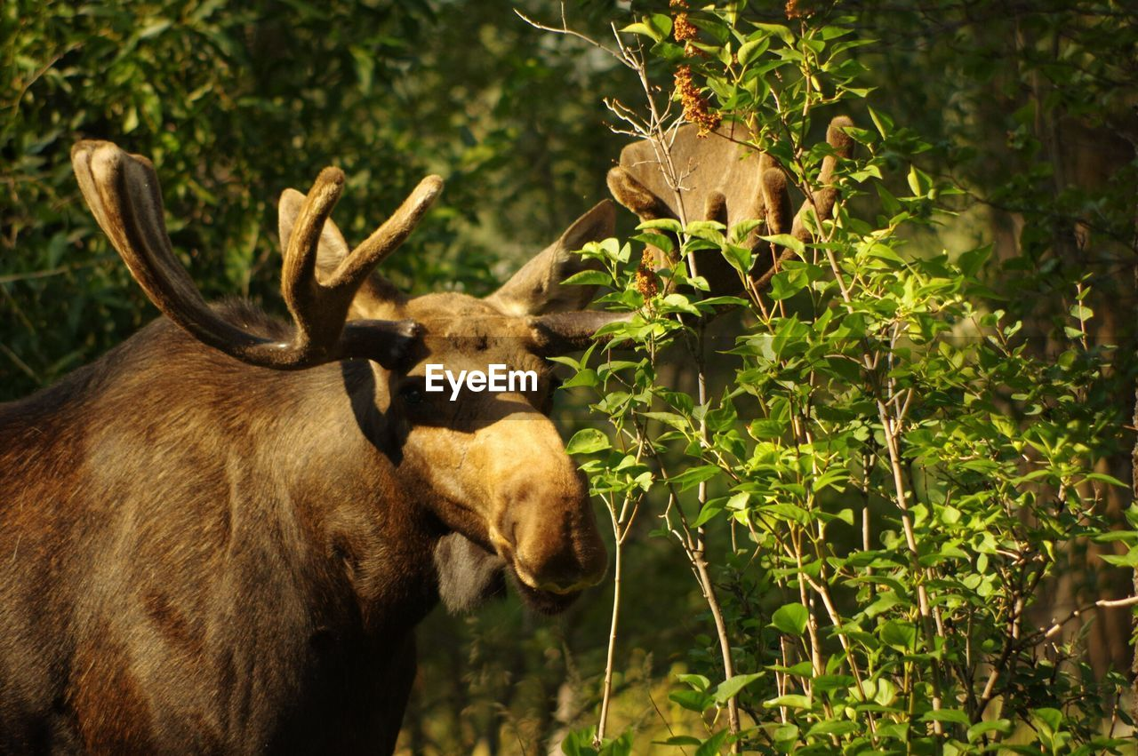 animal themes, animals in the wild, no people, animal wildlife, mammal, antler, day, nature, outdoors, moose, tree